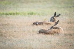放置在草的两只跳羚羊羔 库存图片