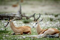 放置在草的两只跳羚 免版税库存图片