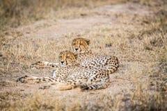 放置在草的两头猎豹 图库摄影