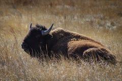 放置在草的北美野牛 库存图片