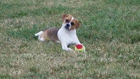 放置在草的小狗在温暖的夏日 免版税库存图片