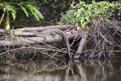 放置在草的尼罗鳄鱼 图库摄影