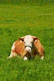 放置在草的布朗母母牛在一个晴天 免版税库存照片