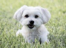 放置在草的愉快的狗 免版税库存照片
