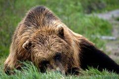 放置在草的棕熊 库存图片