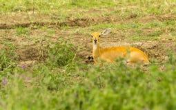 放置在草的石羚 库存图片