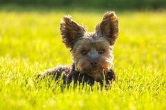放置在草的约克夏狗 库存图片