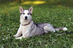 放置在草的美丽的西伯利亚爱斯基摩人狗 免版税库存图片