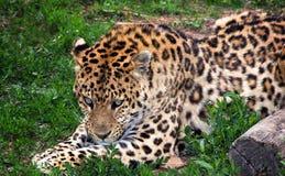 放置在草的豹子在大连森林动物园里 库存照片