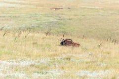 放置在草的黑角马 库存照片
