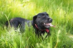 放置在草的黑拉布拉多猎犬狗 免版税图库摄影