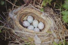 放置在金钟柏的巢的共同的红雀carduelis cannabina幼鸟鸡蛋  免版税库存图片
