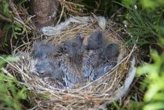 放置在金钟柏的巢的共同的红雀carduelis cannabina幼鸟 库存照片