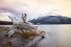 放置在镇静湖的岸的老树桩有雪盖的一座高山的后边,班夫国家公园,加拿大 库存照片