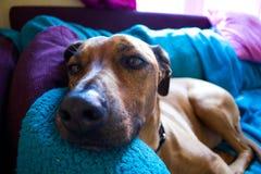 放置在长沙发的狗 免版税库存图片