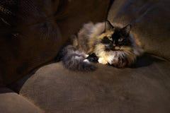 放置在长沙发的猫 免版税图库摄影
