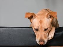 放置在他的床上的狗看起来哀伤 库存图片