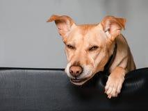 放置在他的床上的滑稽的狗 免版税库存照片