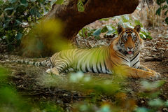 放置在绿色植被的老虎 狂放的亚洲 与第一雨,野生动物在自然栖所, Ranthambore的印地安老虎男性,  库存照片