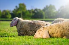 放置在绿草的两只绵羊 免版税图库摄影