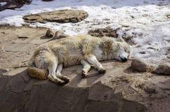 放置在groun的白狼 库存照片