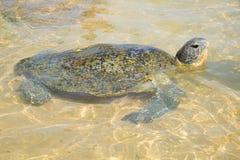 放置在shallows的大海龟 免版税库存照片