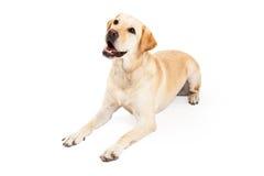 放置好奇拉布拉多猎犬的狗有一个角度 免版税库存图片