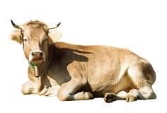 放置母牛 免版税库存照片