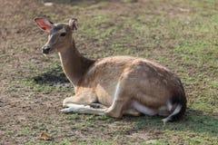 放置母鹿在一个晴天 库存图片