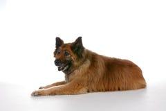 放置混杂的胃的品种狗 库存图片