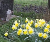 放置由与春天黄水仙的一棵树的唯一羊羔在前景 免版税图库摄影