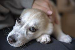 放置白色西伯利亚爱斯基摩人的小狗,人的膝盖 库存图片