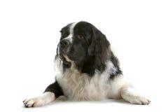 放置的狗下来 免版税库存图片