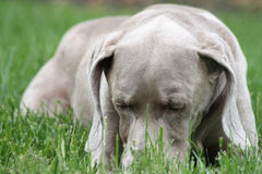 放置的狗下来 免版税库存照片