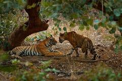 放置的老虎,绿色植被 狂放的亚洲 印地安老虎,在左边的男性夫妇,女性在权利,第一雨,野生动物,自然 库存图片