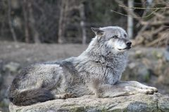 放置的Timberwolf在阳光下 库存照片