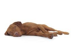放置端的狗 免版税库存照片