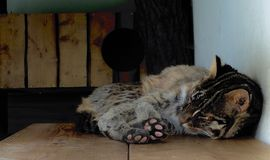 放置逗人喜爱的棕色猫 免版税库存图片