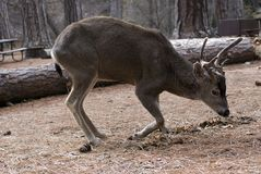 放置骡子的大型装配架鹿 免版税库存图片