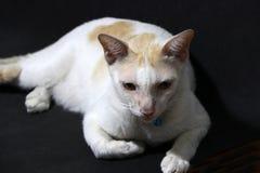 放置黎明的白色和橙色猫在黑地板 猫是与软的毛皮的一只小被驯化的肉食哺乳动物,短的口鼻部 免版税库存图片