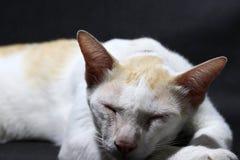 放置黎明的白色和橙色猫在黑地板 猫是与软的毛皮的一只小被驯化的肉食哺乳动物 库存照片