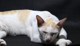 放置黎明的白色和橙色猫在黑地板 猫是与软的毛皮的一只小被驯化的肉食哺乳动物 免版税库存照片