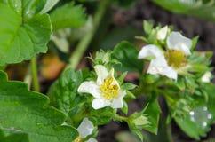 绽放草莓开花与在绿色叶子的露水在庭院里 免版税库存照片
