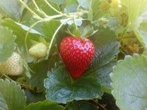 绽放草莓 免版税图库摄影