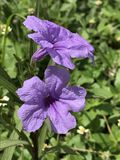 绽放紫色 免版税库存照片