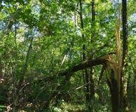 故障划分为的森林风暴结构树 残破的树在跟随风暴的森林里 免版税库存照片