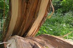 故障划分为的森林风暴结构树 残破的结构树 免版税库存图片
