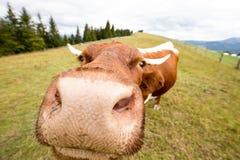 敌意 母牛 正面母牛 瀑布 carpathians 山 星期日 免版税库存照片