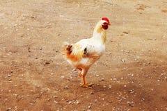 敌意 白色矮脚鸡 看在谷仓外面的白色鸡 图库摄影