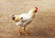 敌意 白色矮脚鸡 看在谷仓外面的白色鸡 库存照片